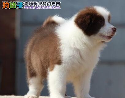 多色极品健康天津边境牧羊犬热销 三个月有问题可退换