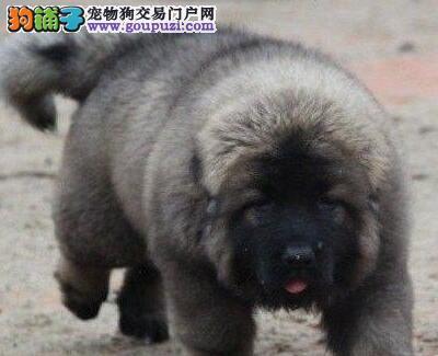高大威猛巨型金华高加索犬优惠特卖签订售后协议