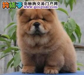 纯种漂亮小肉嘴松狮幼犬火爆热销中 杭州的朋友上门选