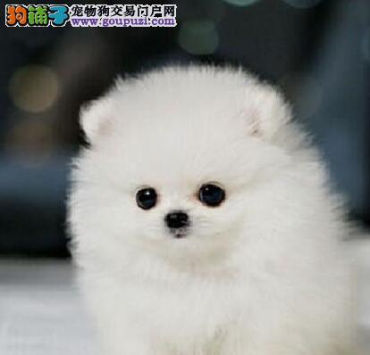 怀化实体店热卖博美犬颜色齐全包养活送用品
