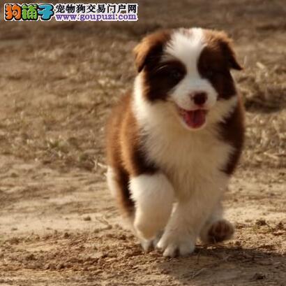 七白三通聪明的边境牧羊犬广州购犬有优惠