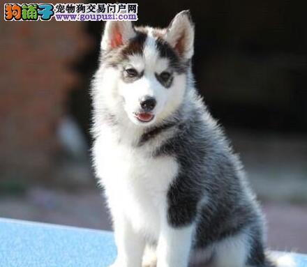 石家庄专业繁殖出售哈士奇幼犬 三把火双蓝眼赛级品质