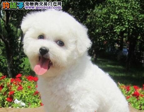 合肥正规狗场出售大眼睛甜美脸型的比熊犬 非诚勿扰