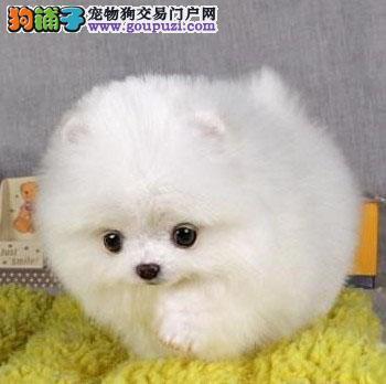 俊介犬在广州哪买好广州新光狗场专业繁殖纯种俊介犬