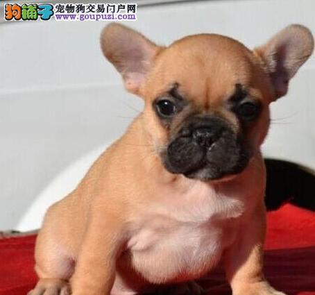 火爆出售血统纯正的湘潭法国斗牛犬实物拍摄直接视频