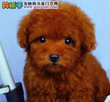 繁育基地直销精品可爱大连泰迪犬多种颜色包养活