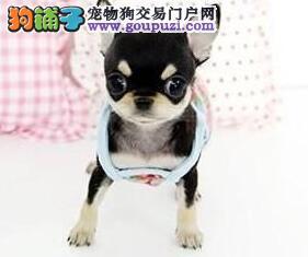 实体狗场优惠出售超小体的南京吉娃娃 可爱苹果头