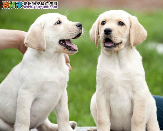 出售精品多色宁波拉布拉多犬 专业养殖场精心繁殖热销
