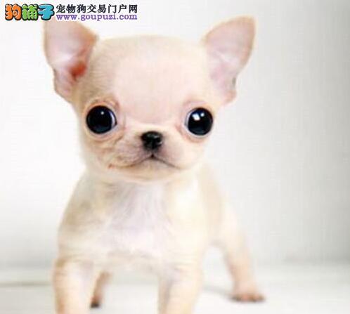 高品质纯血统的洛阳吉娃娃幼犬找新家 疫苗证书齐全