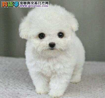 出售柳州正规犬舍繁殖的泰迪犬 多窝幼犬供大家选购