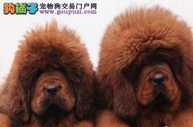 热销纯血统原生态南京藏獒 欢迎来犬舍直接挑选价格低