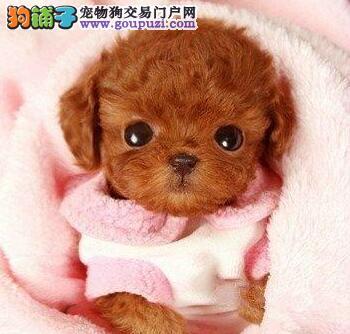 茶杯玩具超小体的贵阳泰迪犬找爸爸妈妈 可随上门选
