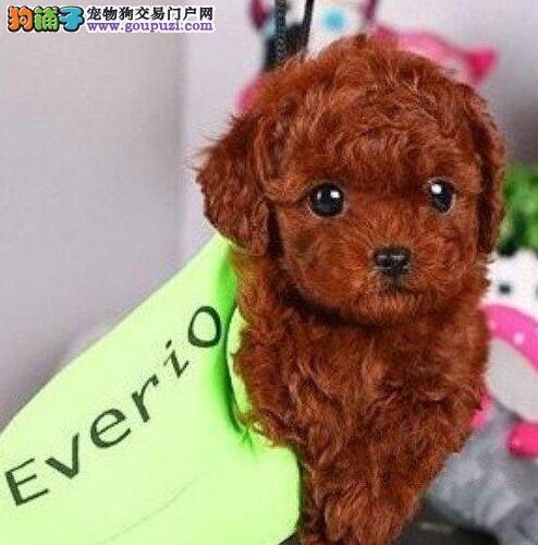 滨州自家狗场繁殖多只泰迪犬转让中 驱虫疫苗已做
