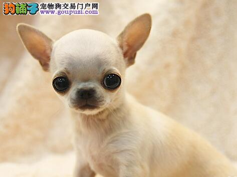 家养纯种大眼睛漂亮吉娃娃宝宝石家庄出售 多只可选