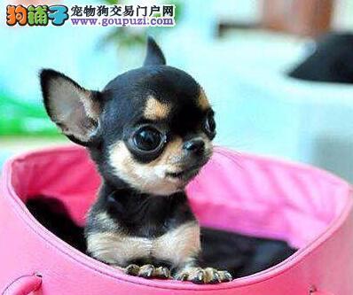 权威机构认证犬舍 专业培育吉娃娃幼犬包养活送用品