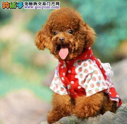 转让极品韩国血统昆明贵宾犬 有血统证书已做好防疫