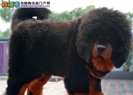 北京知名獒园热卖极品藏獒购买可办理血统证书