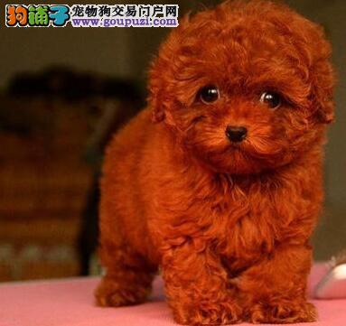 自家繁殖多只泰迪犬促销中北京地区购犬送用品