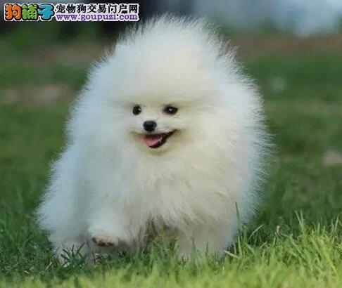 宁波大型犬舍出售哈多利版博美犬 支持全国空运发货