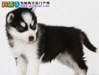 重庆市内狗场直销三把火哈士奇 可接受提前预定