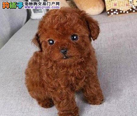 合肥实体狗场出售纯血统的泰迪犬 请您放心选购