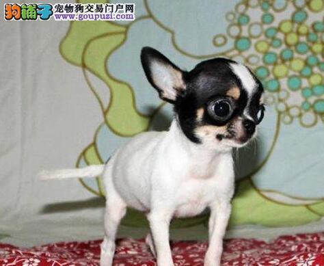专业正规犬舍热卖优秀的郑州吉娃娃全国质保全国送货
