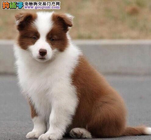 犬舍直销极品青岛边境牧羊犬包纯种可见父母
