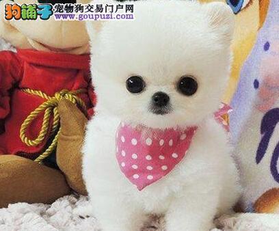 哈尔滨狗场直销哈多利血系的博美犬 签订售后协议书
