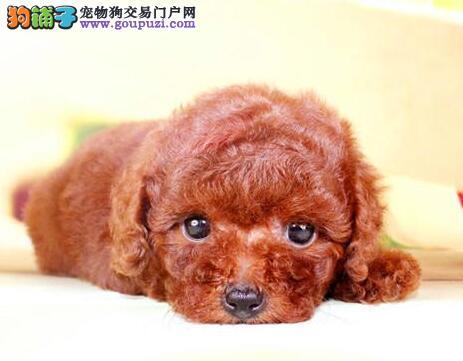 北京犬舍促销顶级优秀韩系泰迪犬 可签订活体销售协议