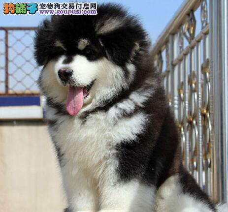 冠军级后代阿拉斯加犬、品质优良血统纯正、签署合同质保