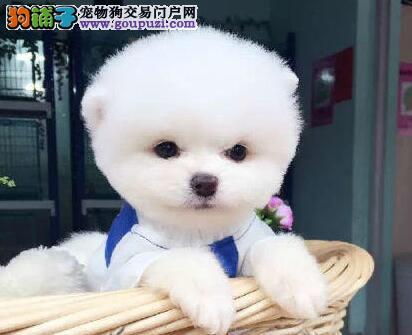 实体店转让哈多利西安博美犬好品相超可爱
