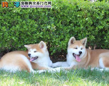 CKU认证犬舍 专业出售极品 秋田犬幼犬国外引进假一赔百