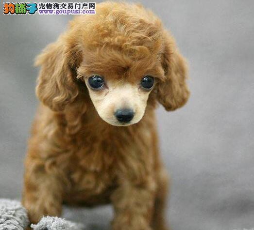 可送货超值出售纯种韩版玩具贵宾犬包质量健康