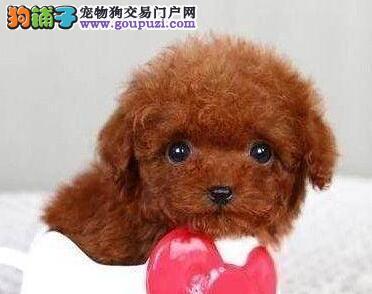 热销纯种韩国血统泰迪犬 哈尔滨地区有实体犬舍保障高