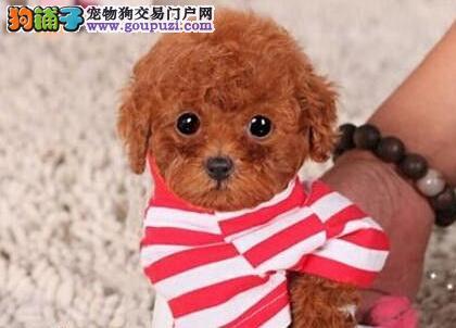 品质血统极佳的南宁泰迪犬找爸爸妈妈 多只可挑选