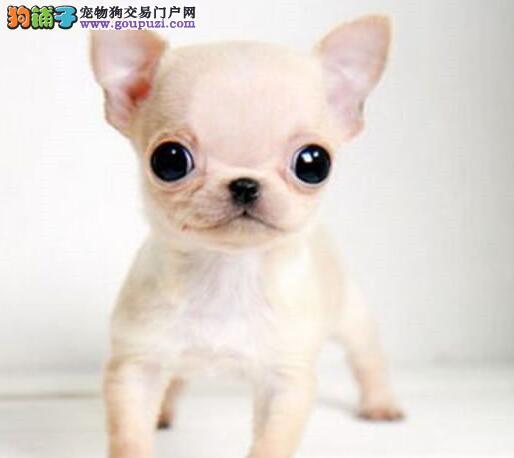 娇小活泼可爱的吉娃娃幼犬找新家 南宁市内免费送货
