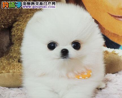 出售聪明伶俐博美犬品相极佳微信咨询看狗狗照片