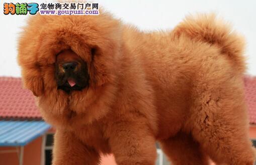 犬舍直销品种纯正健康郑州藏獒全国质保全国送货