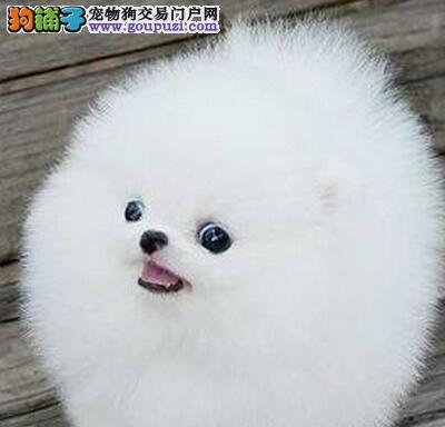 郑州自家犬舍热销哈多利版博美犬 体型小包养活