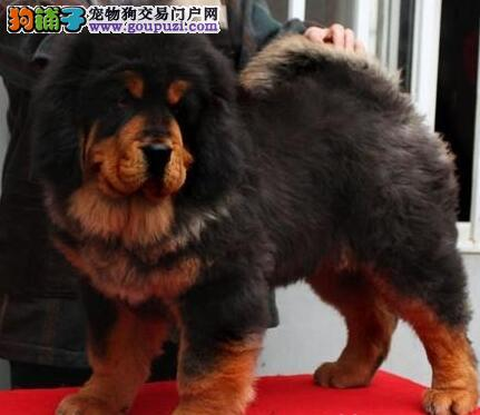 郑州专业狗场直销优秀藏獒 原生态品质身体健康