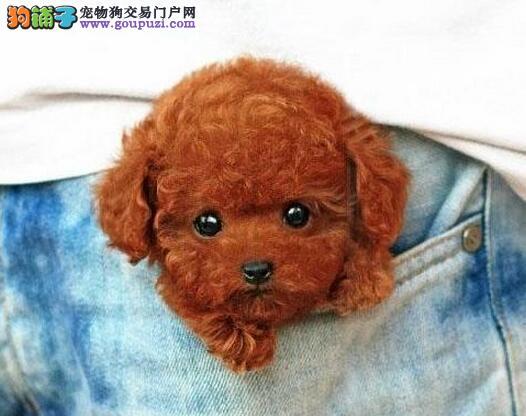 CKU犬舍认证出售纯种泰迪犬诚信经营三包终身协议