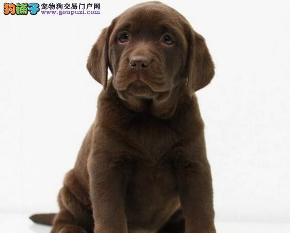 出售大头版骨骼健硕的太原拉布拉多犬 放心选购爱犬