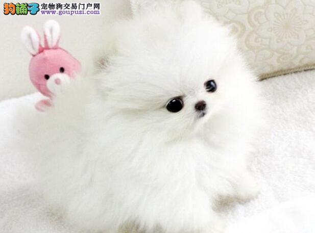 """出售多只广州博美幼犬 可签定""""售后保证协议书"""""""