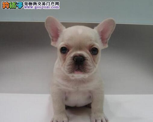 极品法国斗牛犬热销中、完美品相 品质第一、购犬可签协议