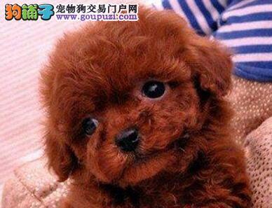 广州自家犬舍出售韩系血统贵宾犬 可上门挑选质量三包