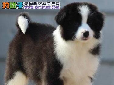 出售纯种白金汉宫血系广州边境牧羊犬 已做好疫苗