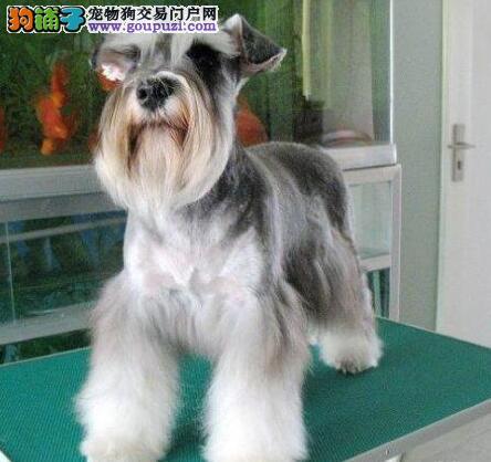 顶级优秀血统雪纳瑞广州本地狗场直销 可视频可空运