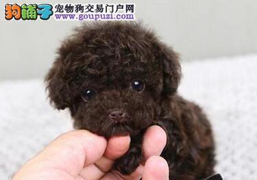 健康可爱泰迪犬低价直销 广州周边城市可上门购买