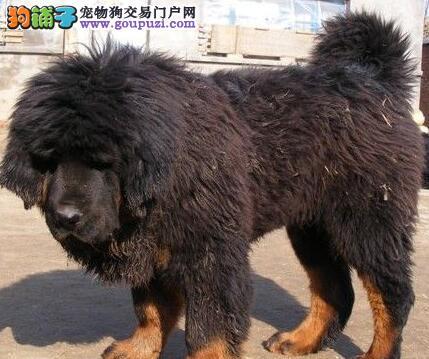 直销狮王血系藏獒 重庆周边地区包邮包细小和犬瘟