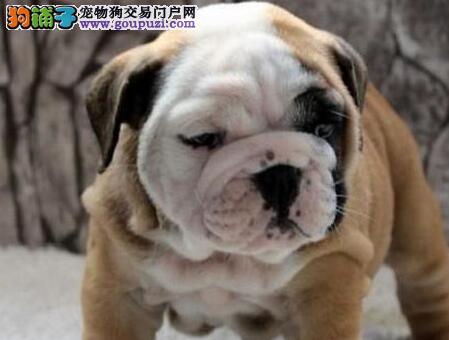 英国斗牛犬最大的正规犬舍完美售后期待您的光临